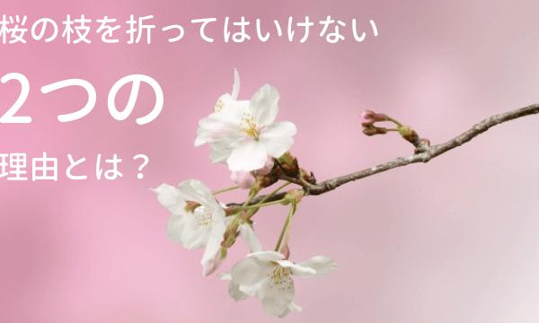 桜の枝を折るのがダメな2つの理由|店で売ってるのはなぜ?
