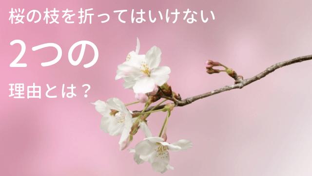 桜の枝を折ってはいけない2つの理由とは?