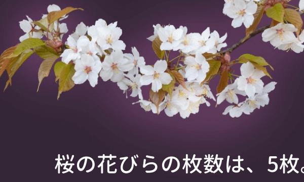 桜の花びらの枚数は何枚?300枚以上ある超豪華な桜も!