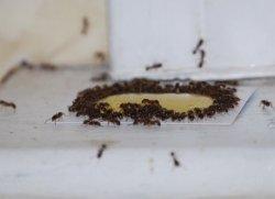 数十匹の蟻が蜜にたかる様子
