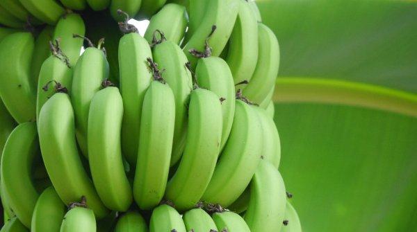 木になっている青いバナナ