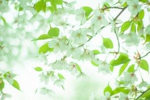 葉桜の季節