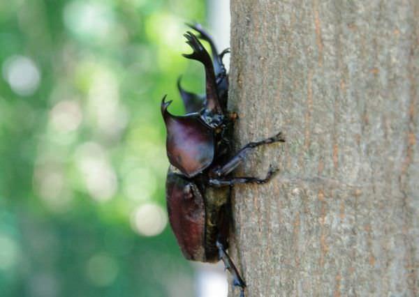 木を登るカブトムシ