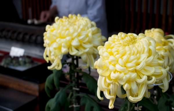 黄色い2本の菊の花