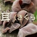 木に自生するキクラゲ
