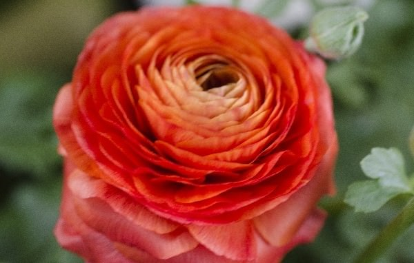 ラナンキュラスの赤い花