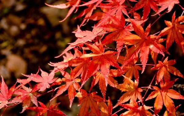 真っ赤に紅葉した楓