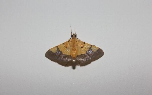 壁に止まる小さい蛾