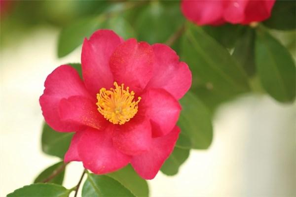 山茶花の赤い花