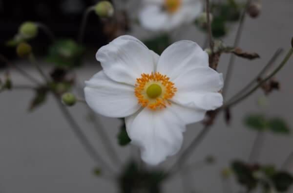 白の秋明菊